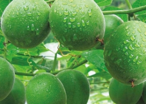 罗汉果:甜味剂里的中国机遇